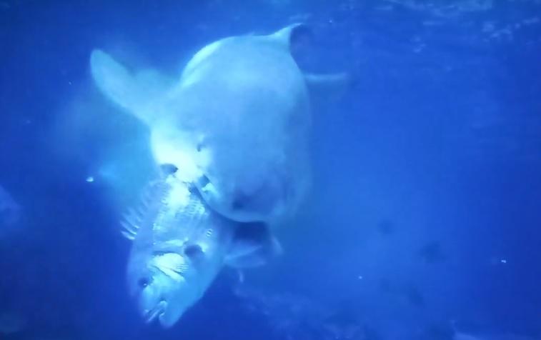 Gastón, o tiburón, devora ao pargo. Imaxe: Cristina Souto - MC2.