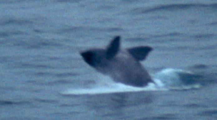 Fotografía da balea vasca tomada o 5 de decembro de 1993 por Iago Mosqueira en Estaca de Bares.