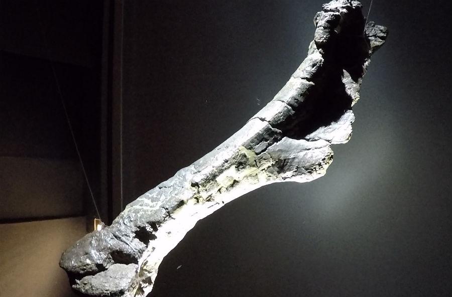 Fósil dun hadrosauro exposto na Casa das Ciencias da Coruña. Imaxe: R. Pan.