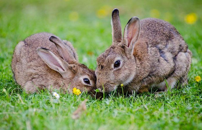 Os coellos destacan pola súa promiscuidade e poligamia, ao contrario que outros mamíferos que optan pola monogamia.