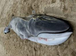 Cachorro de balea común que morreu onte na costa de Muxía. Foto: Cemma.