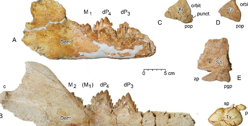 "Restos fósiles do cranio dun xuvenil de ""Dorudon atrox"", con restos de mordeduras. Fonte: PlosONE."