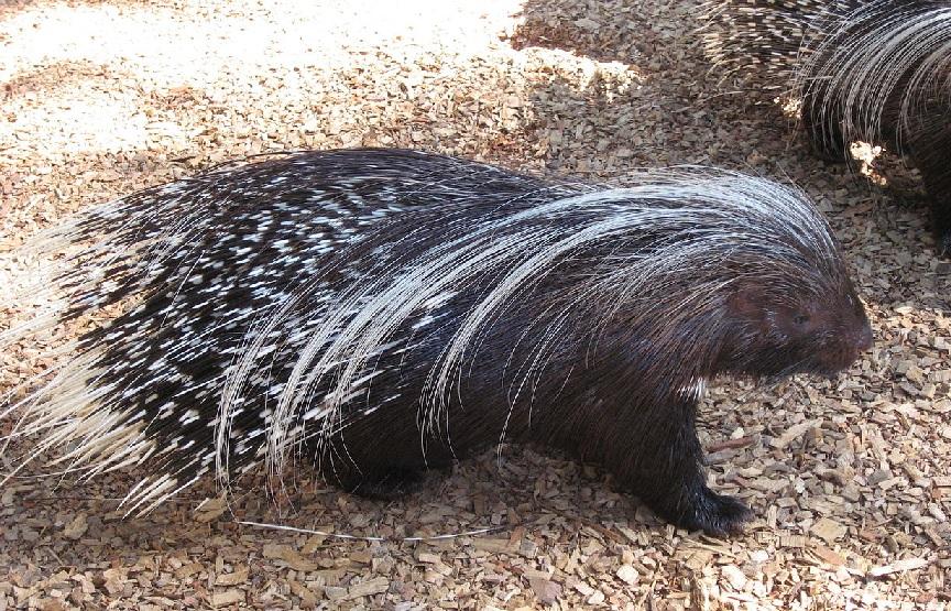 """O porco espiño levanta o seu pelo grazas ao """"arrector pili"""". Foto: Liné 1 / CC BY-SA 3.0."""