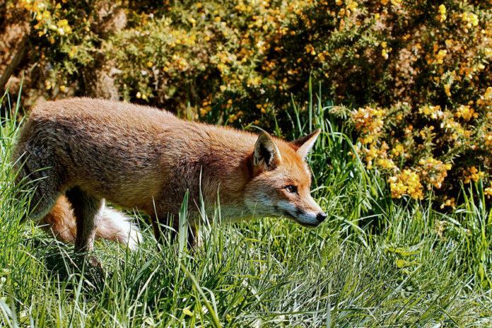 Galicia acolle esta fin de semana os campionatos provinciais de caza do raposo. Foto: Airwolfhound / CC BY-SA 2.0.