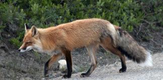 """A Sociedade Galega de Historia Natural defende no seu escrito a """"importancia ecolóxica"""" do raposo."""
