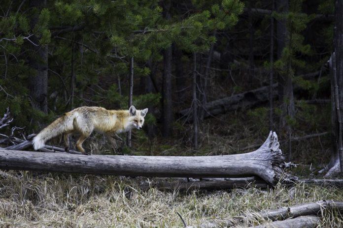 Exemplar de raposo.