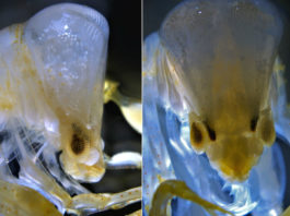"Imaxes da criatura ""Phronima sedentaria"" tomadas por Álvaro Roura."