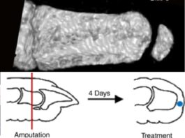 O ensaio conseguiu rexenerar parte das articulacións nas dedas dos ratos. Fonte: Nature Communications.