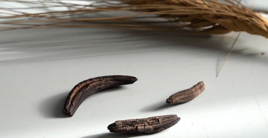 """O dentón é o nome común do fungo """"Claviceps purpurea"""". Fonte: Illa Bufarda."""