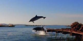 Imaxe dos arroaces saltando entre bateas.