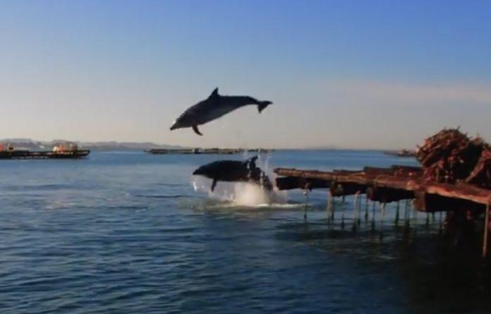 Imaxe dos arroaces saltando entre bateas en Galicia. Imaxes: BDRI.