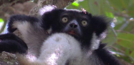 O vídeo de Divulgare fai un repaso pola illa de Madagascar e as súas especies, como o lémure.