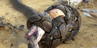 A cobra estrangulou á serpe coa súa boca, e morreu á súa vez atrapada no corpo do pitón. Fonte: National Geographic.