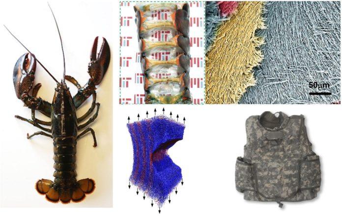 Os experimentos realizados co material atopado na membrana do lumbrigante americano ofrecen unha interesante liña de investigación. Fonte: MIT / Acta Biomateralia.