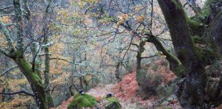 """Os científicos demostraron a alteración na madeira do """"Quercus robur"""". Na imaxe, bosque de carballos da conca do río Lor. Foto: USC."""