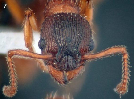 Myrmica spinosior.