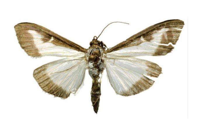 Un dos papabuxos atopados no Real Jardín Botánico de Madrid. Foto: Antonio Vives Moreno.