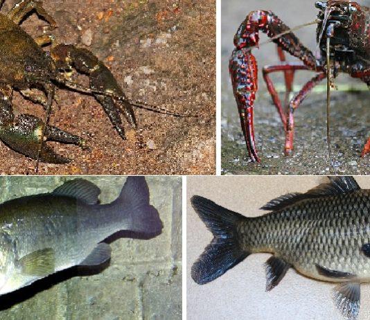 De esquerda a dereita, e de arriba a abaixo. especies invasoras para as que se autorizou a pesca: cangrexo sinal, cangrexo americano, perca e carpa.