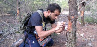 O autor da tese, Xosé López Goldar, desenvolvendo labores de resinación en piñeiros adultos. Foto: CSIC.
