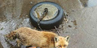 A raposa atada. Fonte: Seprona.