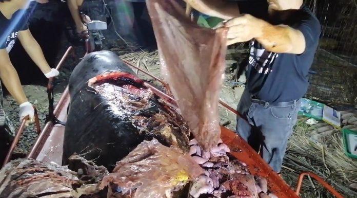 Durante a necropsia sacaron 40 quilos de plástico do animal. Fonte: National Geographic.