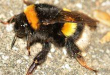 Un exemplar de abellón (Bombus terrestris).