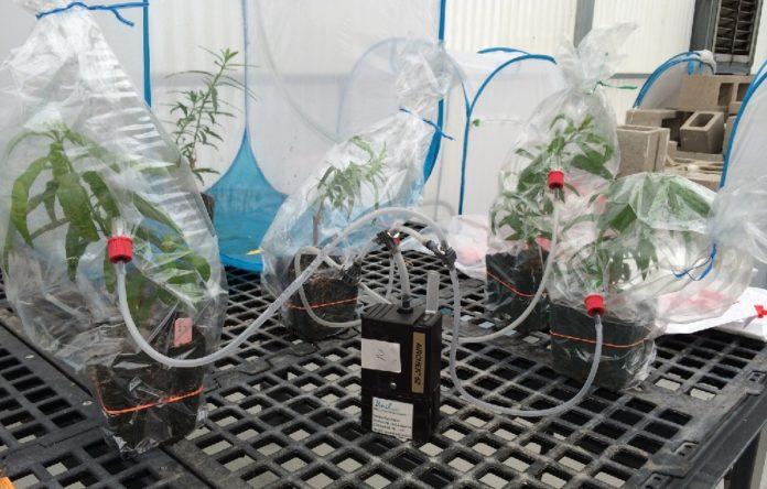 Captura de compostos volátiles para estudar a comunicación entre plantas. Foto: CSIC.