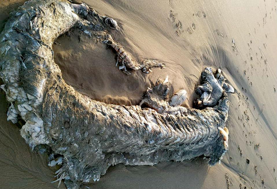 O animal foi atopado na praia de Islantilla o 7 de marzo. Foto: La Casa de la Ciencia.