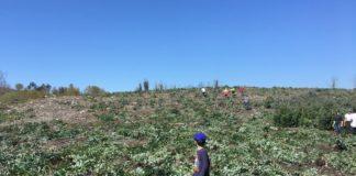 Traballos da deseucaliptización no monte de Laredo, en Caldas de Reis. Imaxe: Cousa de Raíces / Comunidade de Montes Veciñal en Man Común de Carracedo.