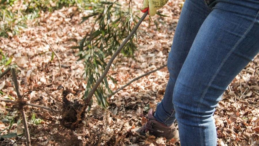 Retirada de pés de eucalipto no monte da Madroa, en Teis (Vigo). Foto: Cousa de Raíces.