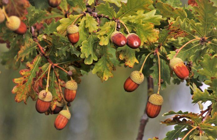 As landras dalgunhas árbores do xénero Quercus, como as aciñeiras (Quercus ilex) son apreciadas nalgúns lugares para consumo humano.