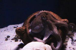 O polbo destaca polas súas particularidades xenómicas e neuronais. Fonte: Unsplash CC BY SA.