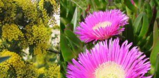 Os investigadores analizaron zonas invadidas pola mimosa e a uña de gato.