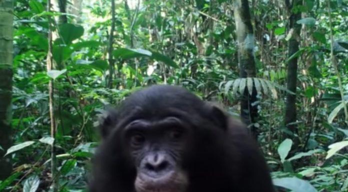 Un dos primates estudados no estudo, diante da cámara. Fonte: Current Biology.