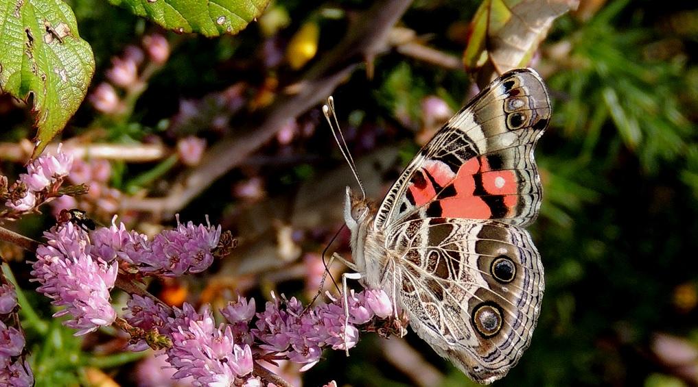 """A bolboreta """"Vanessa virginensis"""". Foto: José Enrique Dapena."""