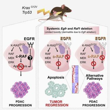 Esquema dos resultados do traballo sobre o cancro de páncreas realizado polo equipo de Barbacid. Fonte: Cancer Cell.