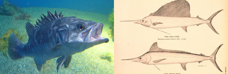 Á esquerda, unha cherna no Aquarium Finisterrae; á esquerda, debuxo de dous istiofóridos. Fonte: Wikicommons.
