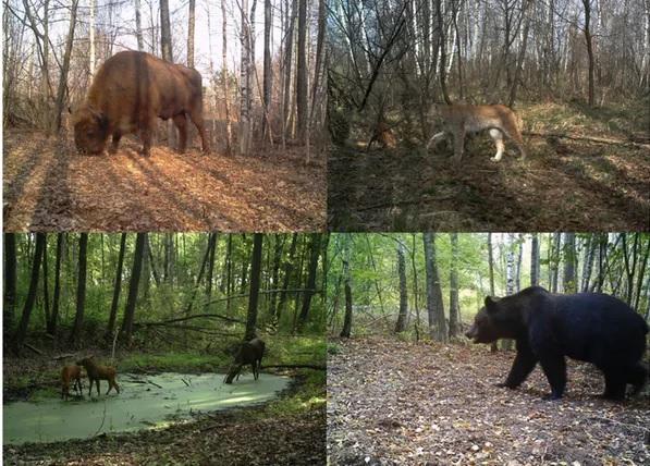 Bisonte europeo (bison bonasus), lince boreal (lynx lynx), alces (alces alces) e oso pardo (ursus arctos) fotografiados polas cámaras do proxecto tree dentro da zona de exclusión de chernóbil (ucrania). imaxes: proxecto tree/sergey gaschack.