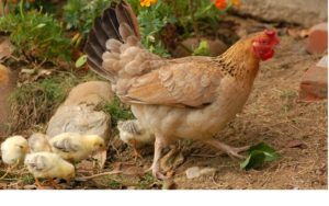 Numerosos estudos científicos contradín a crenza popular da limitación da intelixencia das galiñas. Fonte: Pixabay.