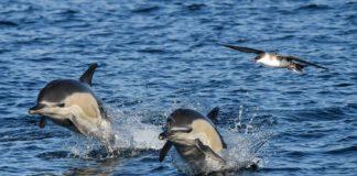 Golfiños comúns retratados nunha saída polas Rías Baixas. Fonte: BDRI.