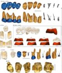 "Restos dos dentes do ""Homo luzonensis"". Fonte: Nature."