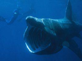 O peixe bobo (na imaxe, a carón dun buzo) é un dos peixes de maior tamaño do planeta.
