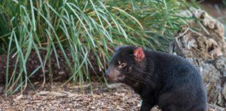 Exemplar de diaño de Tasmania (Sarcophilus harrisii). Imaxe: Pixabay.