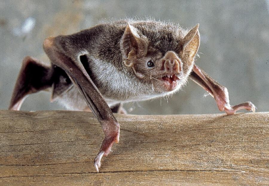 """O cuspe do """"Desmodus rotundus"""", o coñecido como vampiro común,  ten propiedades anticoagulantes. Foto: Uwe Schmidt / CC BY-SA 4.0."""
