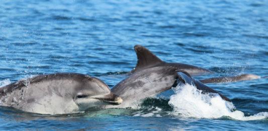 Nas saídas de TurGaSur rexistráronse 25 avistamentos de arroaces. Foto: Cemma.