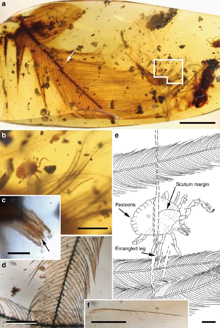 """Figura 2. (a) Unha carracha """"Cornupalpatum burmanicum"""" ancorada nunha pluma. Barra de escala, 5mm. ( b) Detalle dunha ninfa de carracha en vista dorsal ancorada nas barbas da pluma (a). Barra de escala, 1mm. ( c) Detalle do capítulo succionador da carrapata mostrando palpos e hipostoma con dentes (frecha). Barra de escala, 0,1mm. (d) Detalle dunha barba. Barra de escala, 0,2mm. (e) Debuxo dunha carracha en vista dorsal indicando o punto de ancoraxe. Barra de escala, 0,2mm. ( f) Bárbula da pluma separada mostrando ganchos nun dos seus lados (a frecha de (a) indica a súa localización, pero na cara oposta da peza de ámbar). Barra de escala, 0,2mm."""