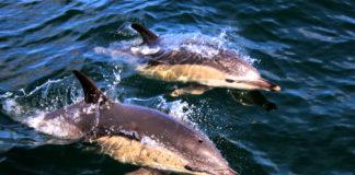 A campaña de embarques da Cemma servirá para mellorar a información sobre a presenza de cetáceos nas costas galegas. Foto: Cemma.