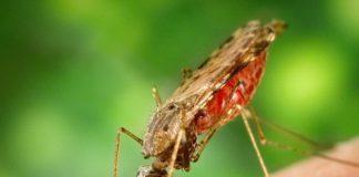 """Os mosquitos anófeles son os principais vectores de contaxio da malaria, causada polos parasitos do xénero """"Plasmodium""""."""