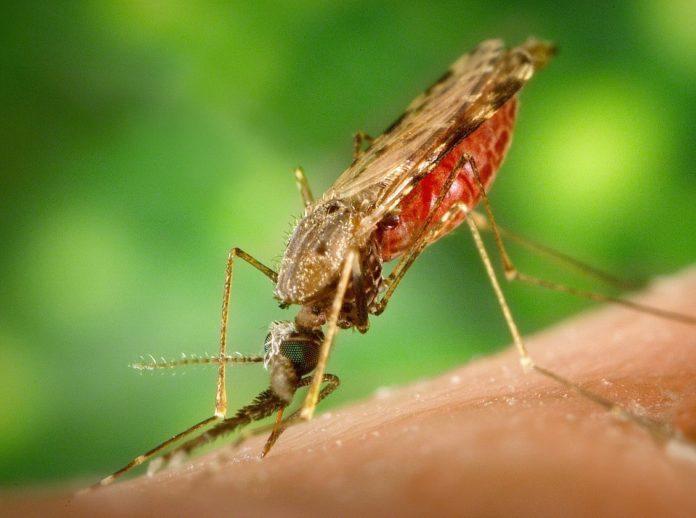 Os mosquitos anófeles son os principais vectores de contaxio da malaria, causada polos parasitos do xénero