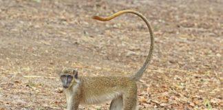 O estudo desenvolveuse con exemplares de monos verdes (Chlorocebus sabaeus), na imaxe. Fonte: Charles J. Sharp / CC BY-SA 4.0.
